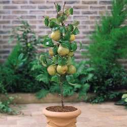 Midget Pear Lilliput