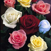 6 Lost Label Roses