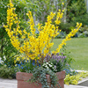 Forsythia Dwarf Mini Gold