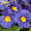 Picture of 33 Primula Alaska Blue Gem