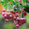 Picture of Enkianthus campanulatus Red Bells