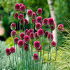 Picture of 50 Allium Sphaerocephalon (Drumsticks)