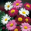 Picture of 6 Pyrethrum Mixed