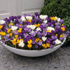Picture of 50 Large Flowering Crocus Mixed 7/8cm