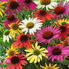 5 Echinacea Butterfly Mixed
