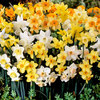 30 Narcissi Jonquilla Mixed