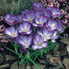 Picture of 50 Crocus Ruby Giant