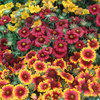 6 Gaillardia Mixed