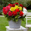 10 Double Begonia Mixed