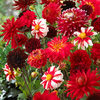 6 Dahlia Red/White Mixed