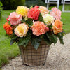 5 Samba Begonias Mixed