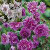 3 Double Hardy Geraniums