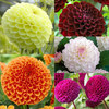 5 Unusual Pompom Dahlias