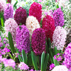 Picture of 10 Hyacinth Passion Mixed 14/15cm