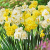 Picture of 20 Daffodil Yellow Cheerfulness